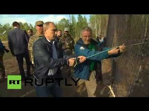 Video: Putin helps release rare Amur tigers into the wild
