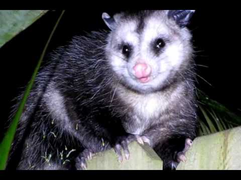 An Opossum trying to Sneak along my Fence in Tampa FL