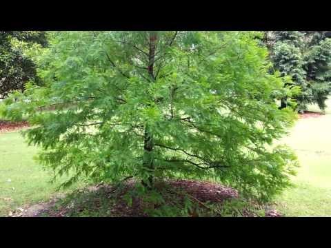 Metasequoia glyptostroboides - dawn redwood HD 01
