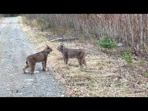 These lynx screaming at each other will strike a chord with anyone who has a sibling