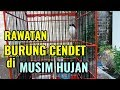 Rawatan Burung Cendet Di Musim Hujan  Mp3 - Mp4 Download