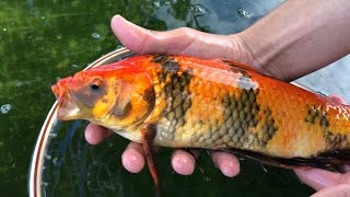 We Stocked The Pool Pond with SUPER RARE Koi