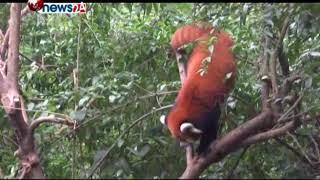 पाण्डाको संरक्षण र संवद्र्धनमा चीनको उत्साह नेपालले पनि सिके राम्रो – NEWS24 TV