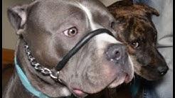 Compare SafeCalm Dog Collar to the Halti Gentle Leader - Dog Whisperer BIG CHUCK MCBRIDE