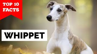 Whippet  Top 10 Facts