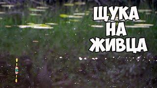 Щука на живца. Ловля щуки на поплавок cмотреть видео онлайн бесплатно в высоком качестве - HDVIDEO