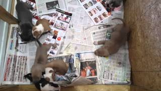 Two Litter Of American Bullys / American Bullies Puppies For Sale
