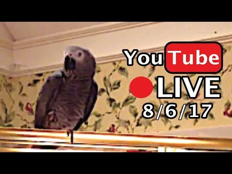 🔴🐦Einstein Parrot LIVE! 8/6/17 More crazy talking in the bathroom!