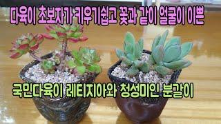 초보자가 키우기쉬운 꽃과같이 얼굴이 이쁜 국민다육이 레티지아와 청성미인 분갈이~!