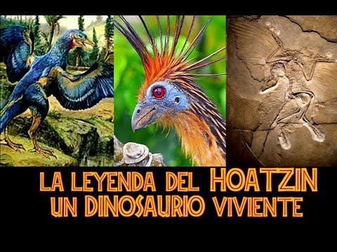 EL HOATZIN: Un Dinosaurio Viviente