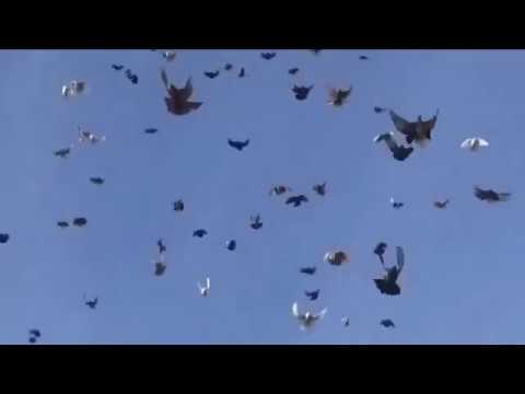 Полеты голубей Скударя Паши г. Мариуполь