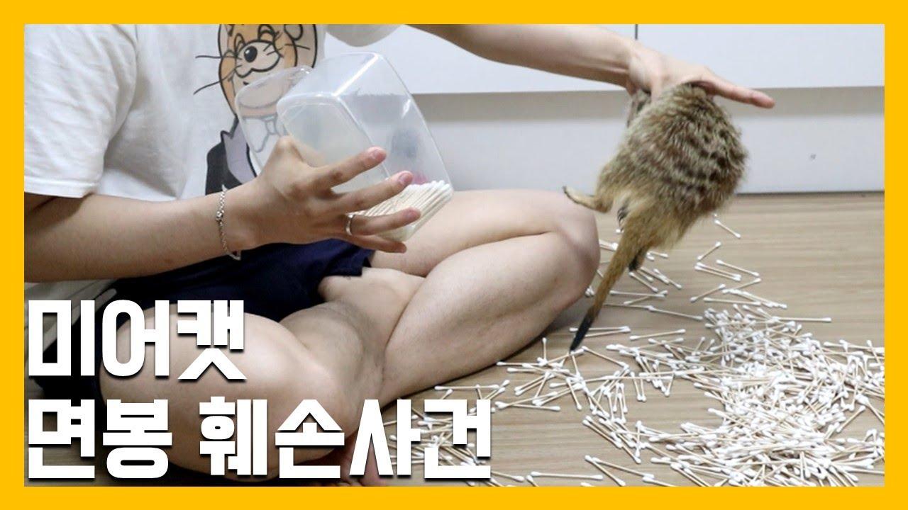 미어캣 면봉 훼손사건 [냥이아빠]