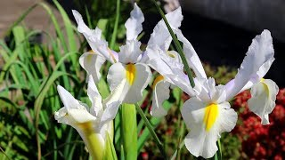 Beautiful  Dutch iris flowers grown in pots | Urdu/Hindi