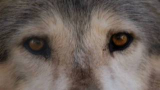 Wilderness and Wolves - A History of Gray Wolves in the US