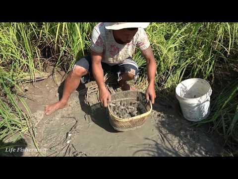Unbelievable Fishing - Wow ! Catching A Lot Small Fish Dry Mud In Dry Season At Rice Field