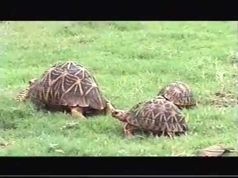 Geochelone elegans (Indian Star Tortoise) food plants and feeding ...
