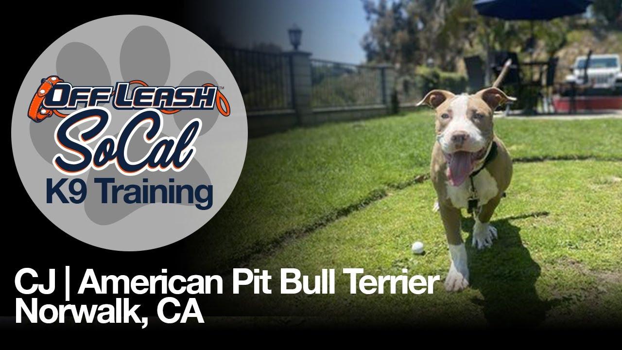 CJ | American Pit Bull Terrier | Norwalk, CA