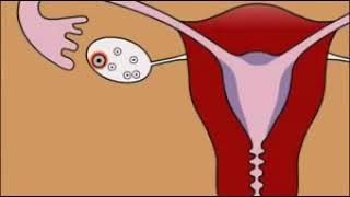 La fécondation :le déroulement de l'ovulation