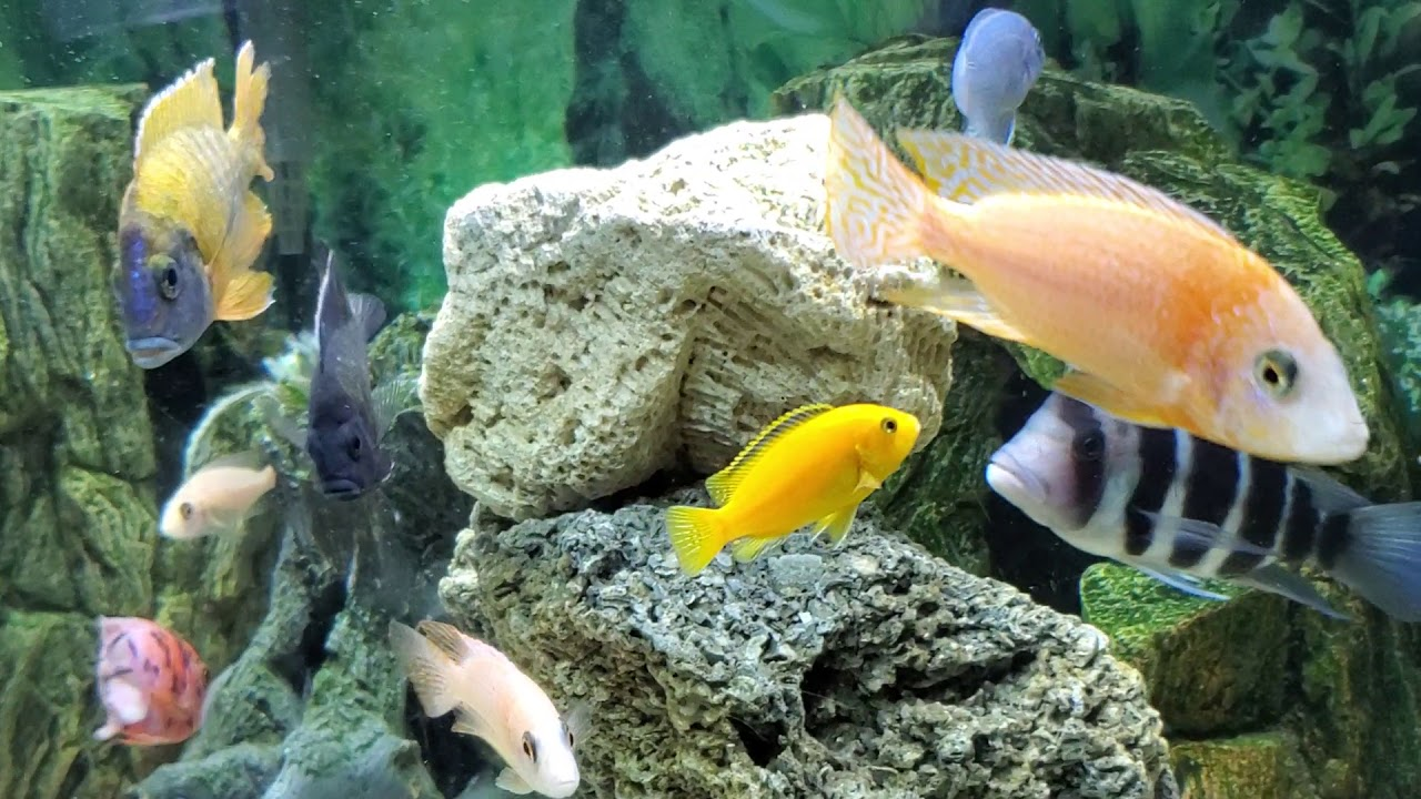 African Cichlid Tank How I Relieve My Stress