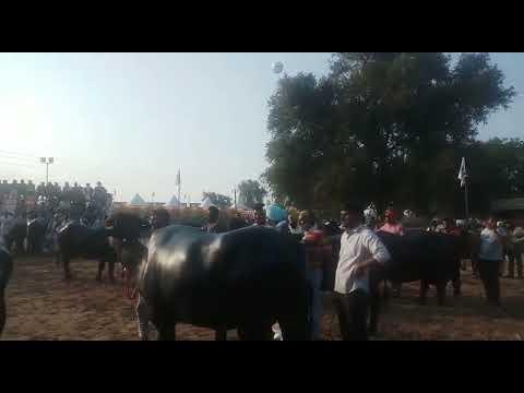 Pdfa International dairy expo 2017-18 milk beauty competition of murrah buffalo