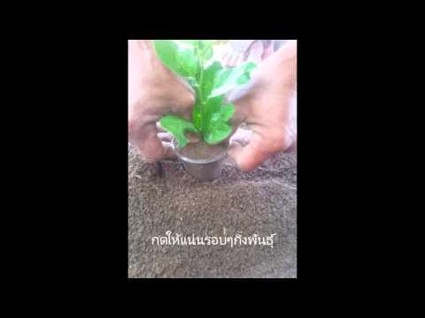 ขยายพันธุ์พืชโดยปักชำ(ควบแน่น)ในมะนาว