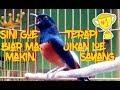 Musik Terapi Untuk Murai Bisu Dan Loyo Langsung Nyamber Ngriwik(.mp3 .mp4) Mp3 - Mp4 Download