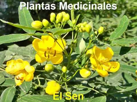 Plantas medicinales hoja sen planta medicinal youtube for Mezclas de plantas medicinales