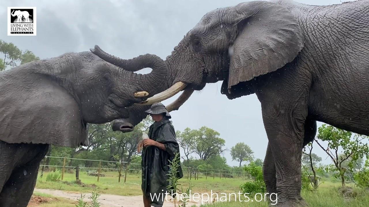 Elephant Smoothies on the rain | Living With Elephants |  Botswana
