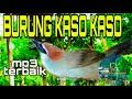 Suara Burung Kaso Kaso Gacor Cocok Buat Pancingan Kaso Kaso Macet Bunyi  Mp3 - Mp4 Download