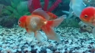 золотые рыбки лечение