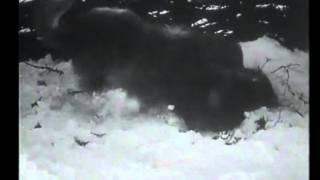 Repeat youtube video Dog defends sheep and kill 2 wolves