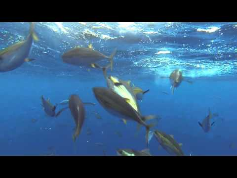 Wide Open Yellowfin Tuna Under Water- Pacific Dawn Sportfishing - Sept 2015 - Underwater Squad