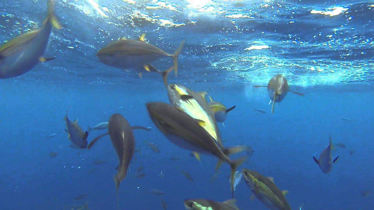 wide open yellowfin tuna under water pacific dawn sportfishing sept 2015 underwater squad youtube