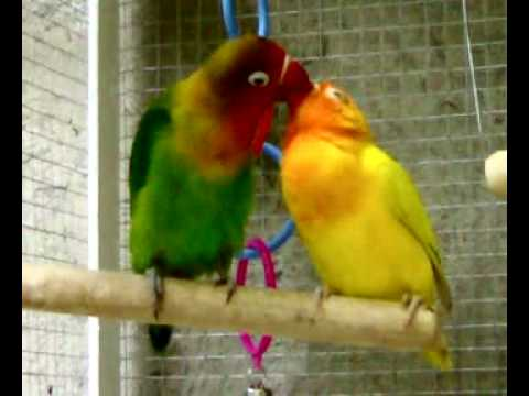 My lovebirds' torrid kisses