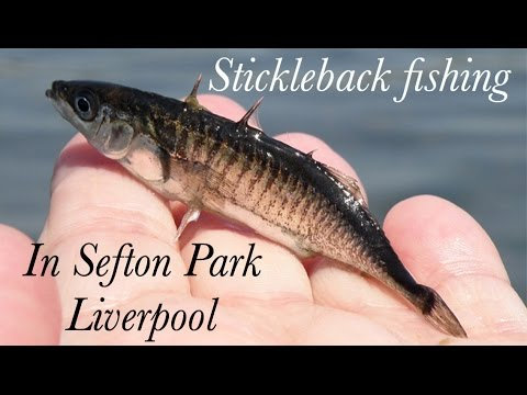 Stickleback Fishing In Sefton Park Liverpool