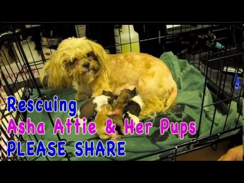 Rescuing Asha Attie and Her Pups