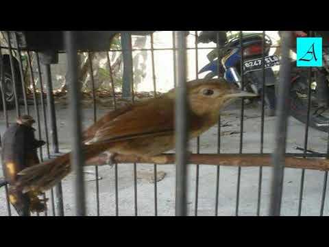 Langsung respon!!! Terapi Burung Flamboyan lelet dan males bunyi