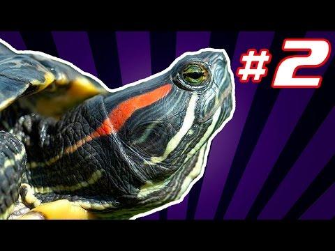 Чем болеют красноухие черепахи в домашних условиях фото