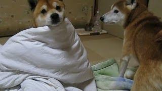 柴犬好き集まれ!ワンコによるワンコのための隠れんぼ