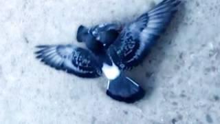 Битва голубков / Epic Pigeon Battle