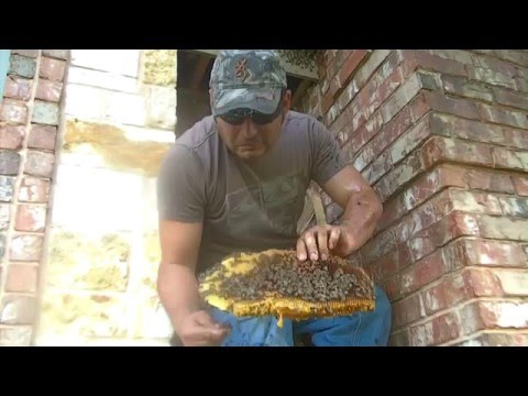 Bee hive removal in Edinburg, Tx by Luis Slayton of Bee Strong Honey