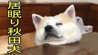 grandchild and # #dog#Akita Inu #JAPANESEAKITA #秋田犬・惣右介君 い...