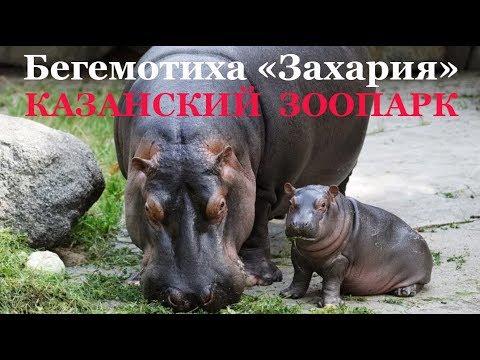 """Бегемотиха """"Захария"""" Казанский зоопарк"""
