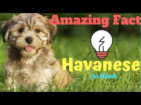 havanese dog | facts in hindi | Animal Channel Hindi