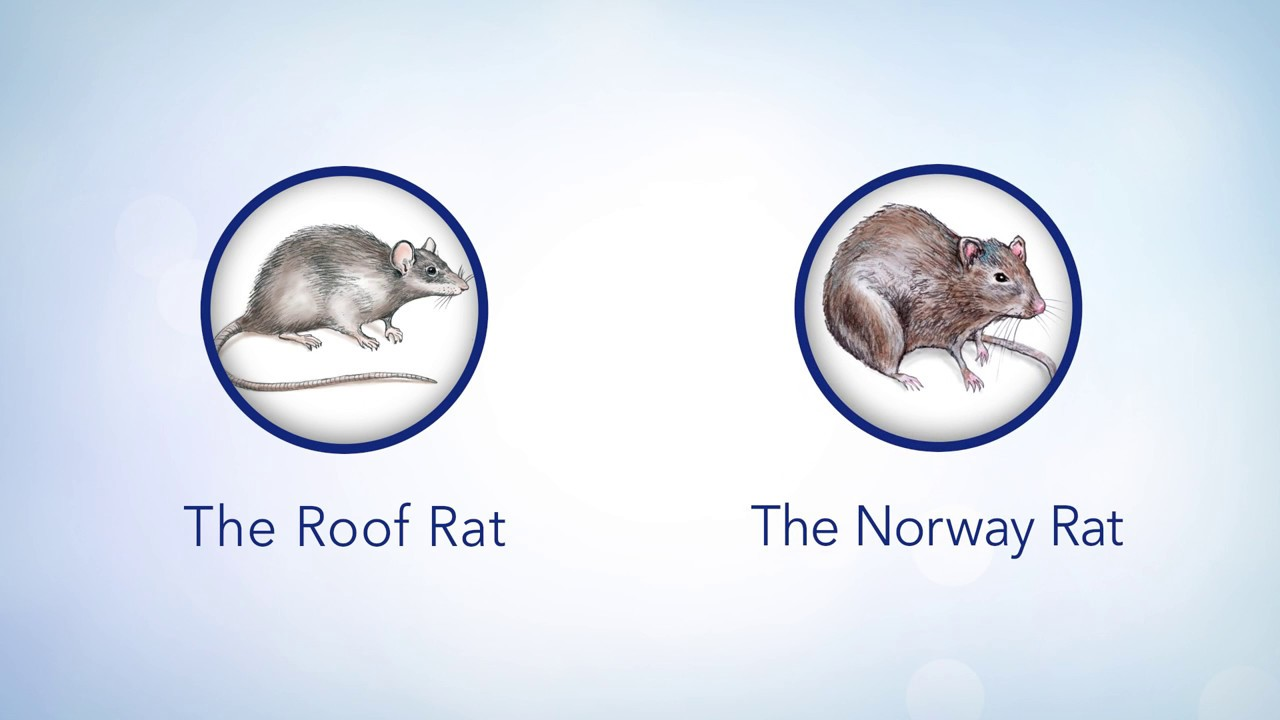 LiphaTalks: Roof Rat Identification and Control