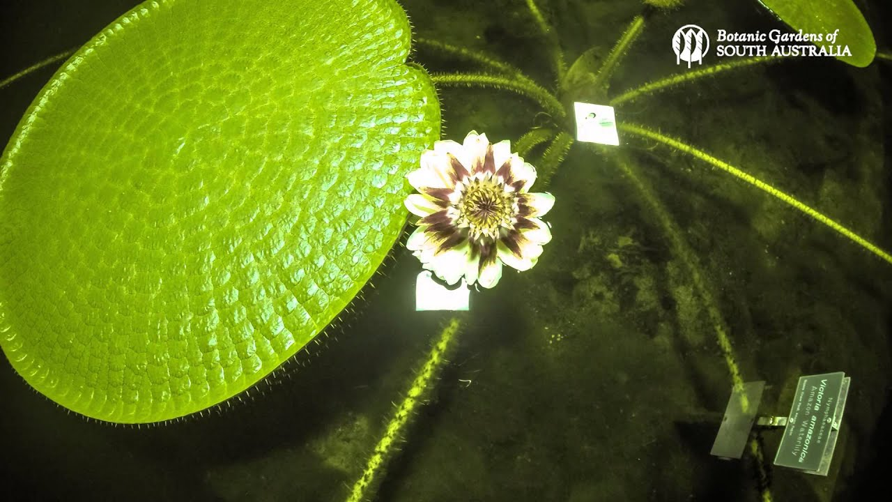 Flowering Of The Amazon Waterlily In Adelaide Botanic Garden Youtube