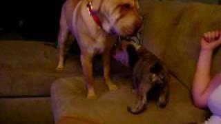 New English Bulldog Puppy Meeting Our Shar Pei