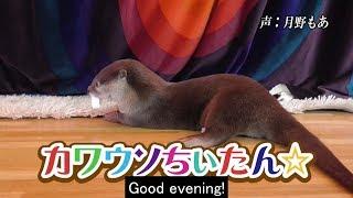 カワウソちぃたん☆Twitter:https://twitter.com/love_otter_love 公式...