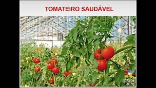Murcha bacteriana (Ralstonia solanaceaurum) em tomateiro.  LICA 2017