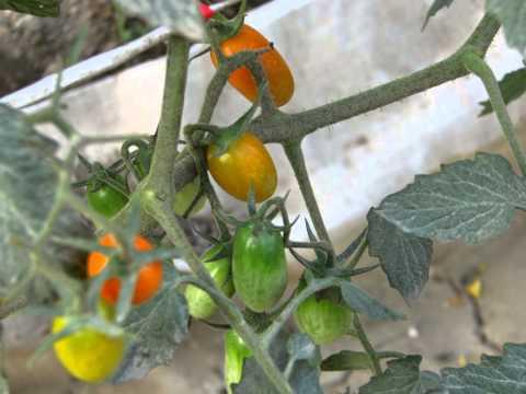 橙蜜香番茄的成長紀錄